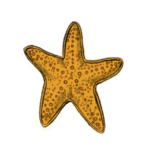 st 10 277x300 How to Draw a Starfish