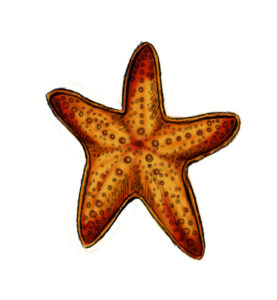 st 13 277x300 How to Draw a Starfish