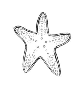 st 6 277x300 How to Draw a Starfish