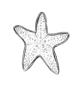 st 7 277x300 How to Draw a Starfish